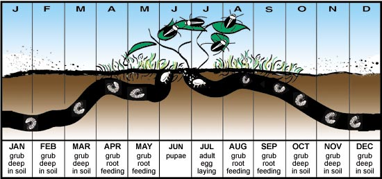 Japanese Beetle Life Cycle - Image Source: University of Minnesota Extension