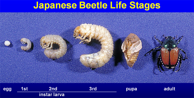 Life Cycle of the Japanese Beetle via the University of Arkansas Turfgrass Science website