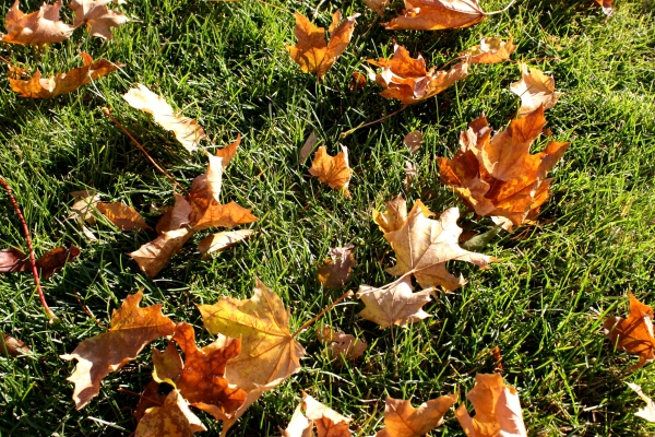 autumn-maple-leaves-on-the-grass