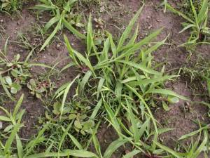 CRABGRASS Image Source: Purdue Turf Tips