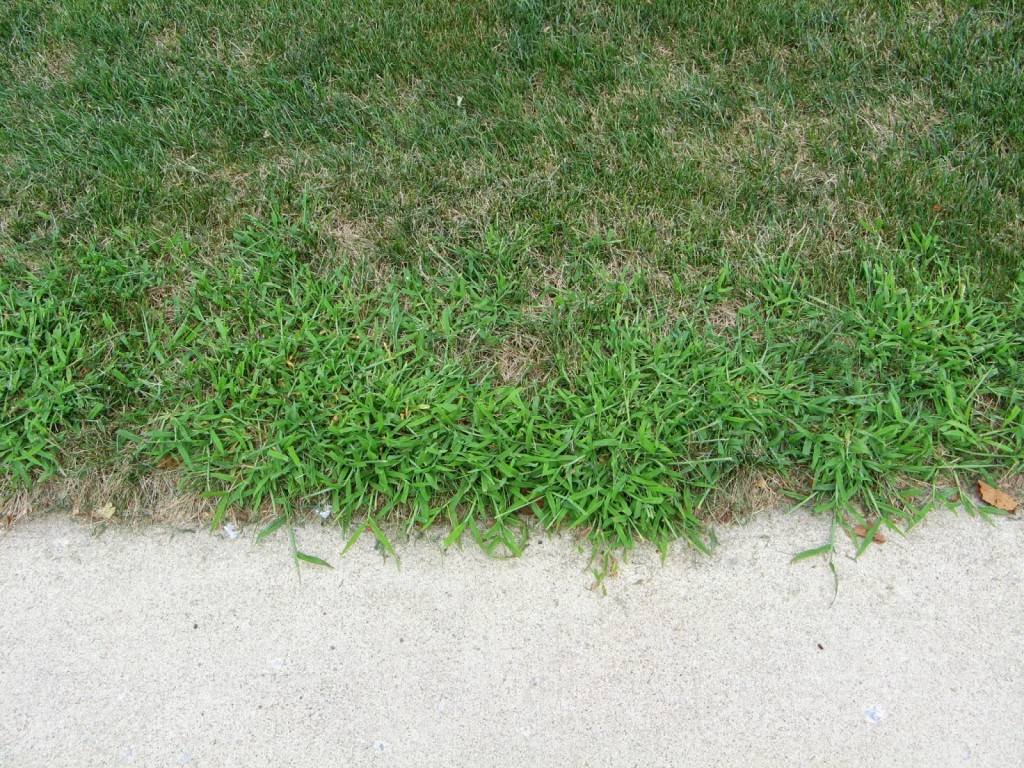 Crabgrass growing next to a sidewalk